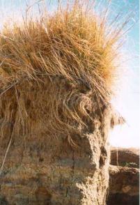 Vetiver roots prevent erosion