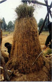 Vetiver has huge roots